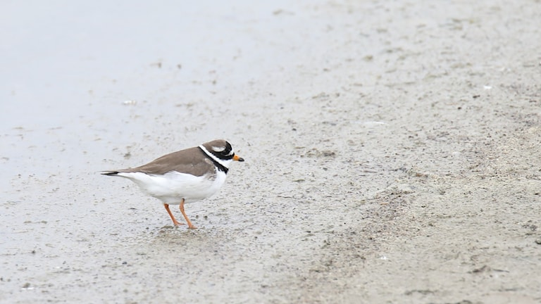 En liten rultig vadarfågel med gula ben, sandfärgad rygg och ljus buk. Större strandpipare, Charadrius hiaticula