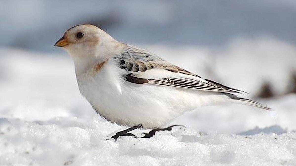Snösparv, Plectrophenax nivalis. Ensam, övervägande vitfärgad, fågel i snö