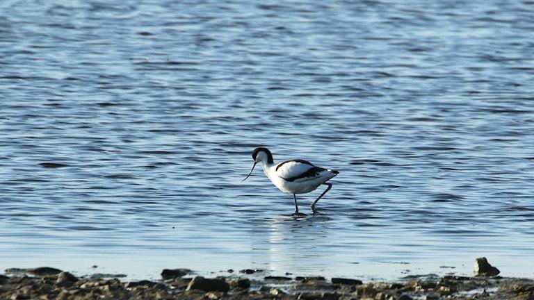 En vit och svart fågel med mycket långa ben och lång uppåtkrökt näbb vadar i vattnet