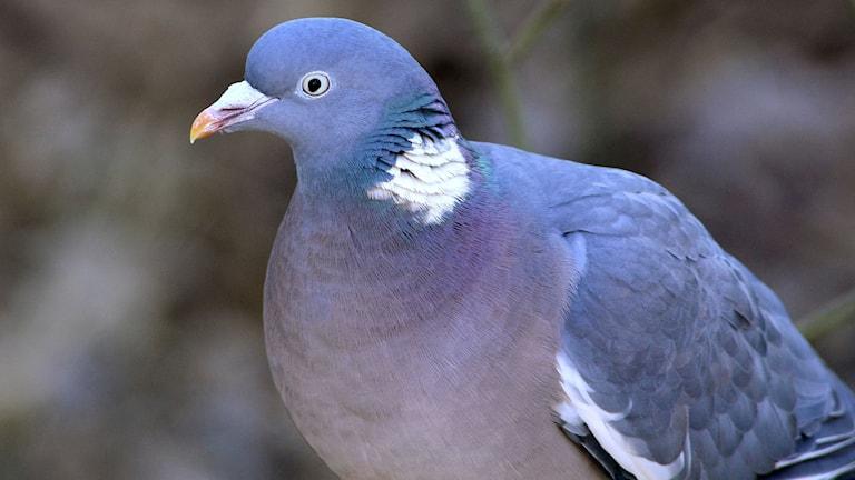 Närbild på en duva med blåviolett vacker fjäderdräkt och en tydlig vit fläck på sidan av halsen. Ringduva, Columba palumbus