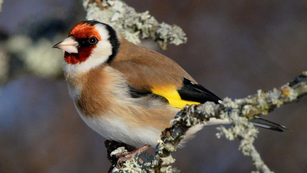 En mycket färggrann finkfågel med röd, vit och svart teckning i ansiktet och ett gult vingband. Steglits, Carduelis carduelis.