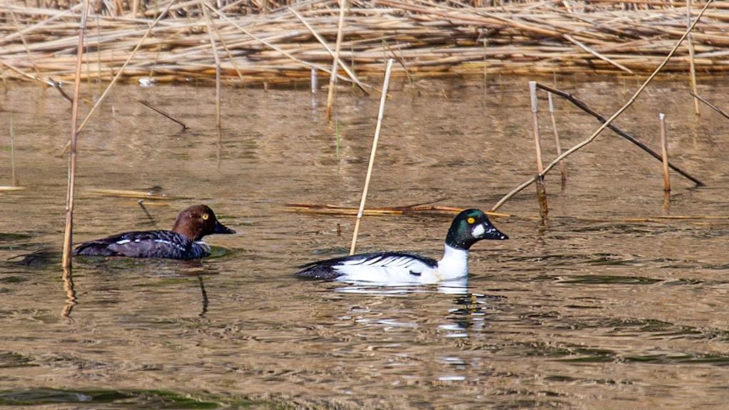 Två fåglar simmar i vattnet, den ena är tecknad i vitt och svart (hanen), den andra i brunt (honan). Knipa, Bucephala clangula.