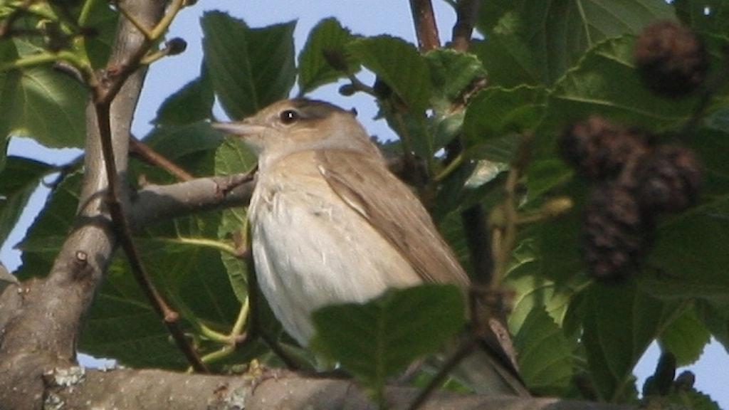 Gråbrun oansenlig småfågel halvt dold i lövgrönska. Trädgårdssångare, Sylvia borin.