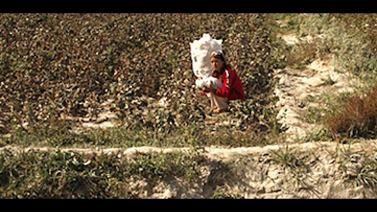Uigurisk kvinna plockar bomull i en by utanför Aksu Xinjiang. Foto: Hanna Sahlberg/SR