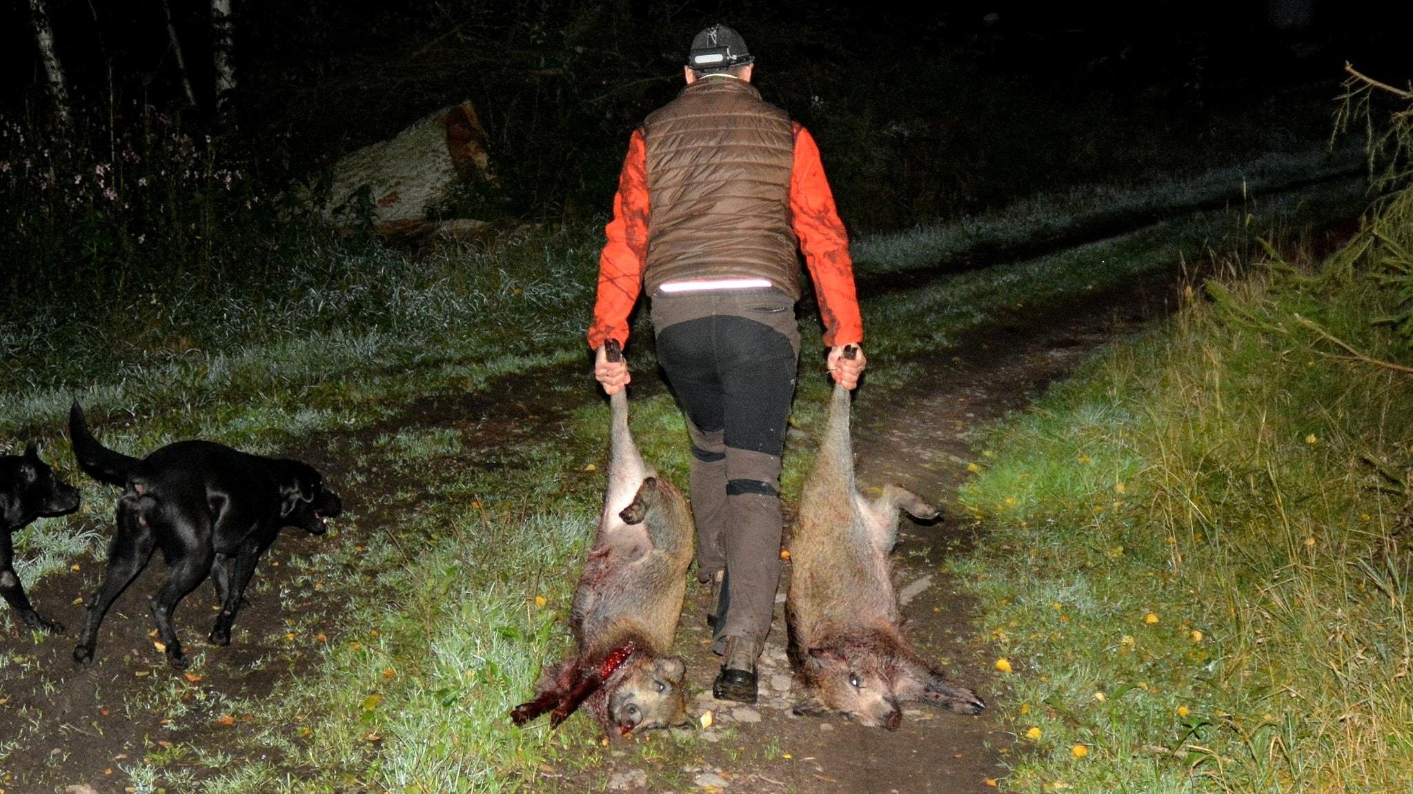 Lantbrukaren David har skjutit två vildsvin.