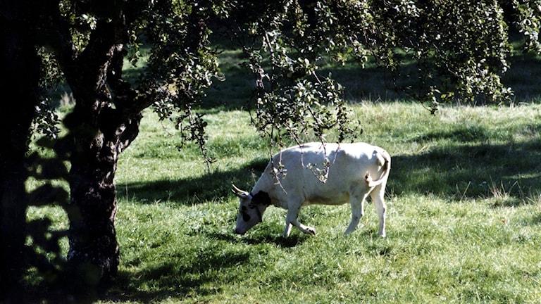 Vit ko betar på grön äng under stort lövträd