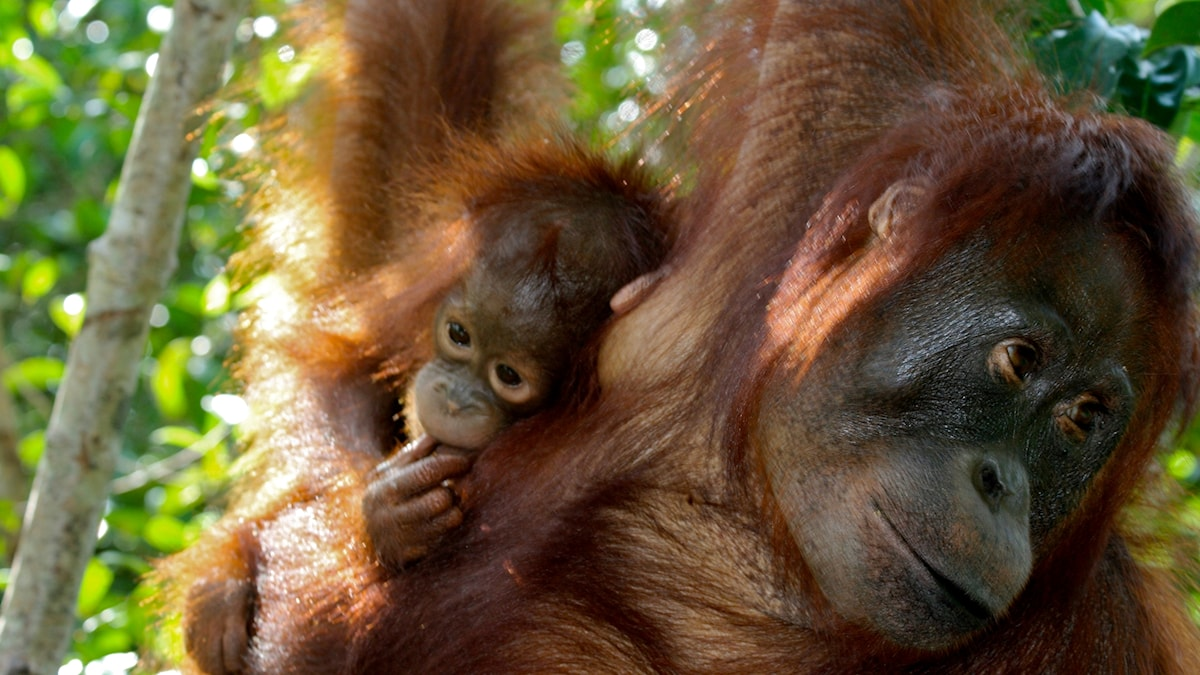 En liten orangutangunge med sin mamma