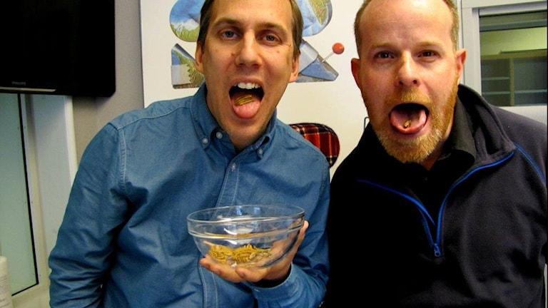 Johan Bergendorff o Pelle Zettersten äter insekter. Foto: Bror Nordström / Sveriges Radio