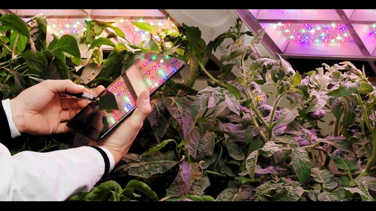 Genom sensorer kan man hålla koll på hur plantorna mår och anpassa ljuset därefter. Foto: Heliospectra