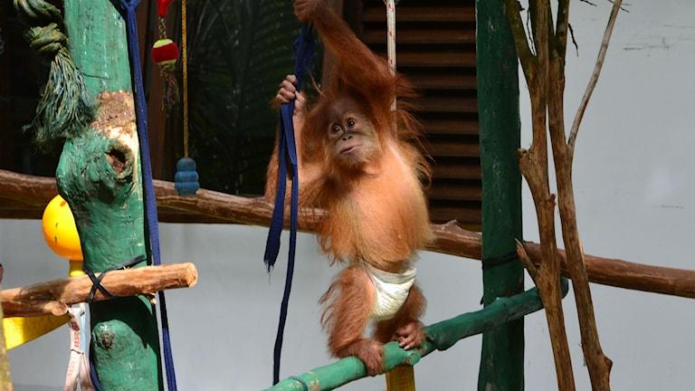 Orangutanger blir hemlösa när regnskogen skövlas för palmolja. Foto: Marcus Hansson / Sveriges Radio
