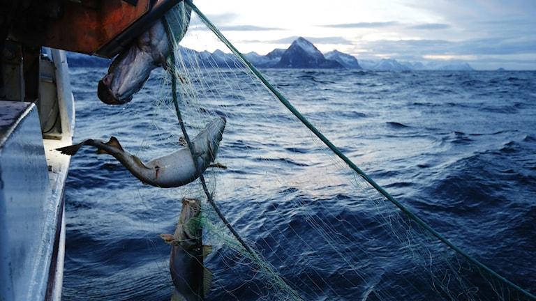 Torskfiske i Nordnorge