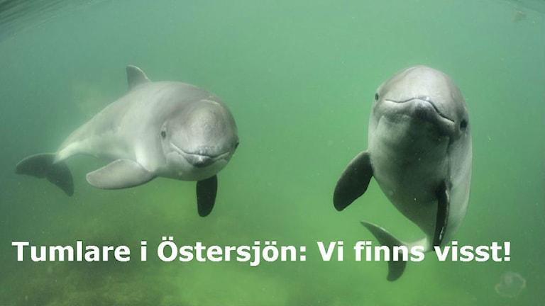 Citat i bild: Tumlare i Östersjön