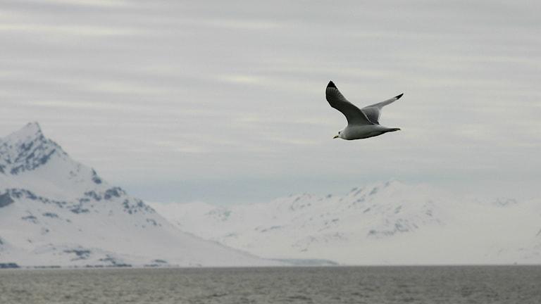 Tretåig mås på Svalbard. Foto:Malin Avenius