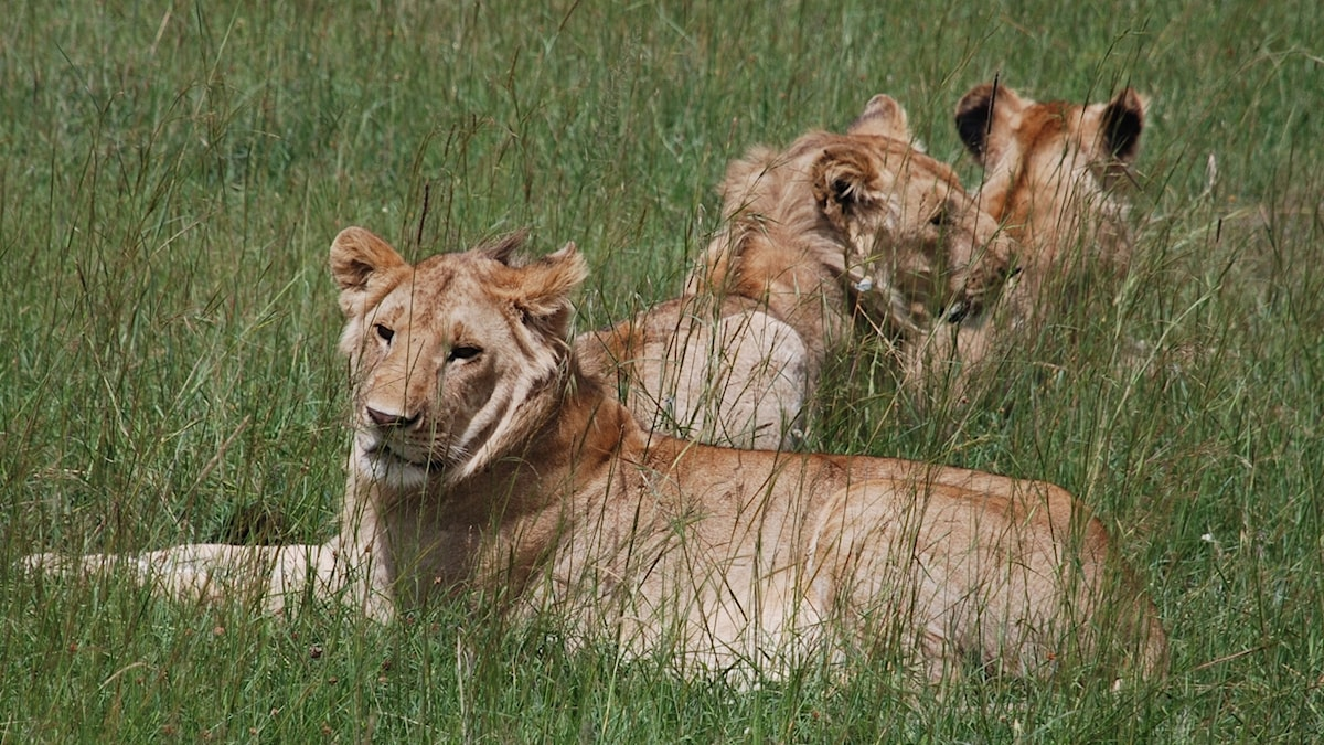 Tre lejon ligger i gräset på savann
