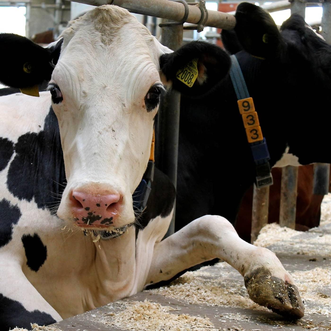Kor på gott och ont