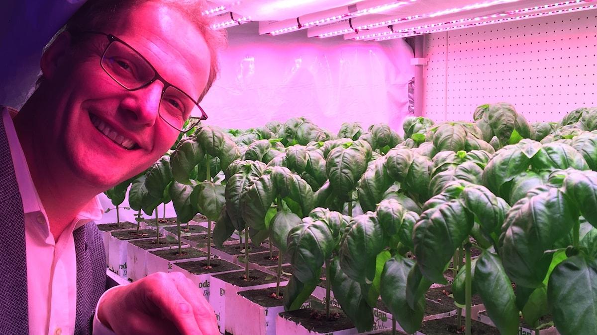 En man står i ett laboratorium med lila ljus där stora basilikaplantor odlas.
