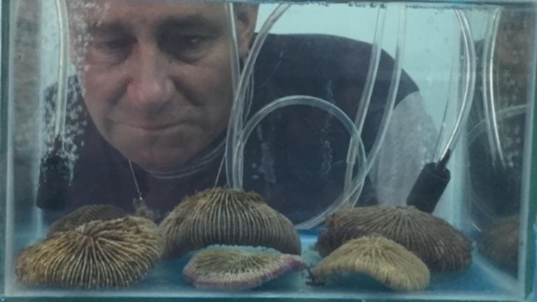 Manlig forskare fotad genom akvarium med koraller