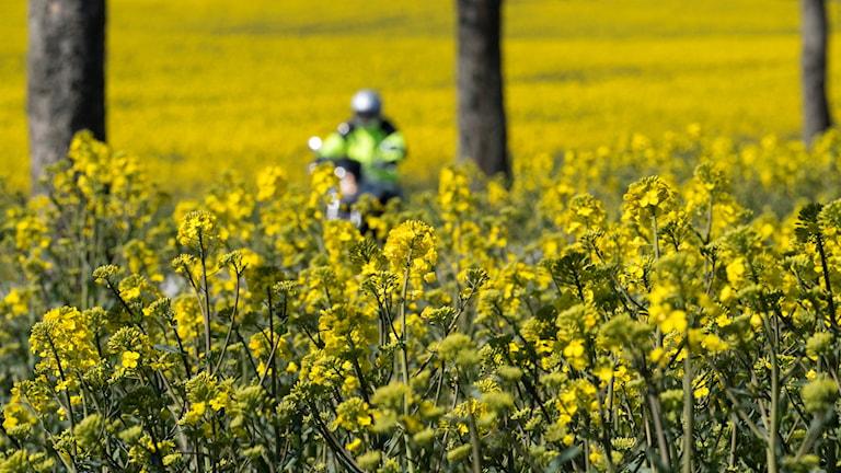 Gult rapsfält med en motorcyklist i bakgrunden, på liten väg kantad av träd.