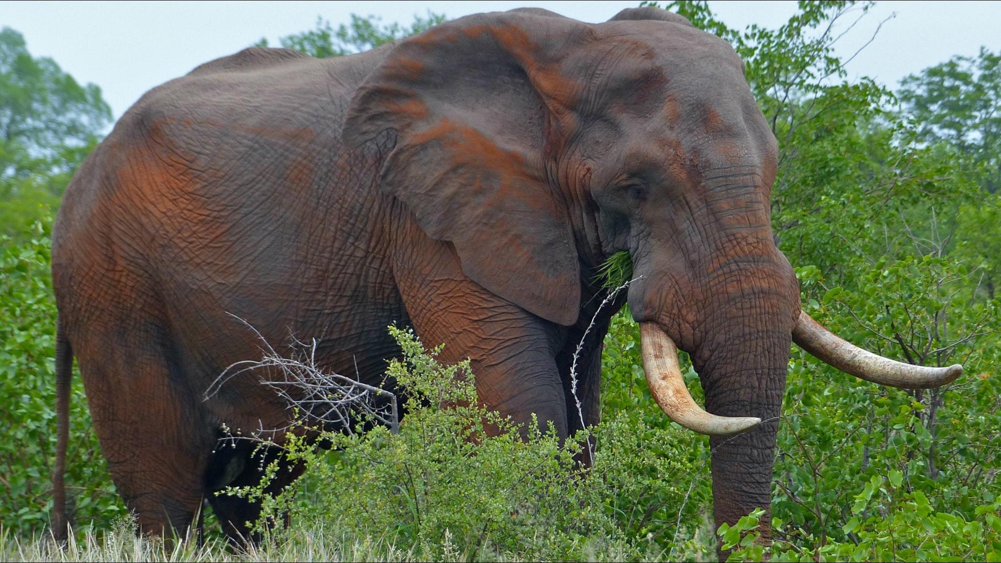 Afrikansk elefanttjur i nationalpark i Sydafrika.
