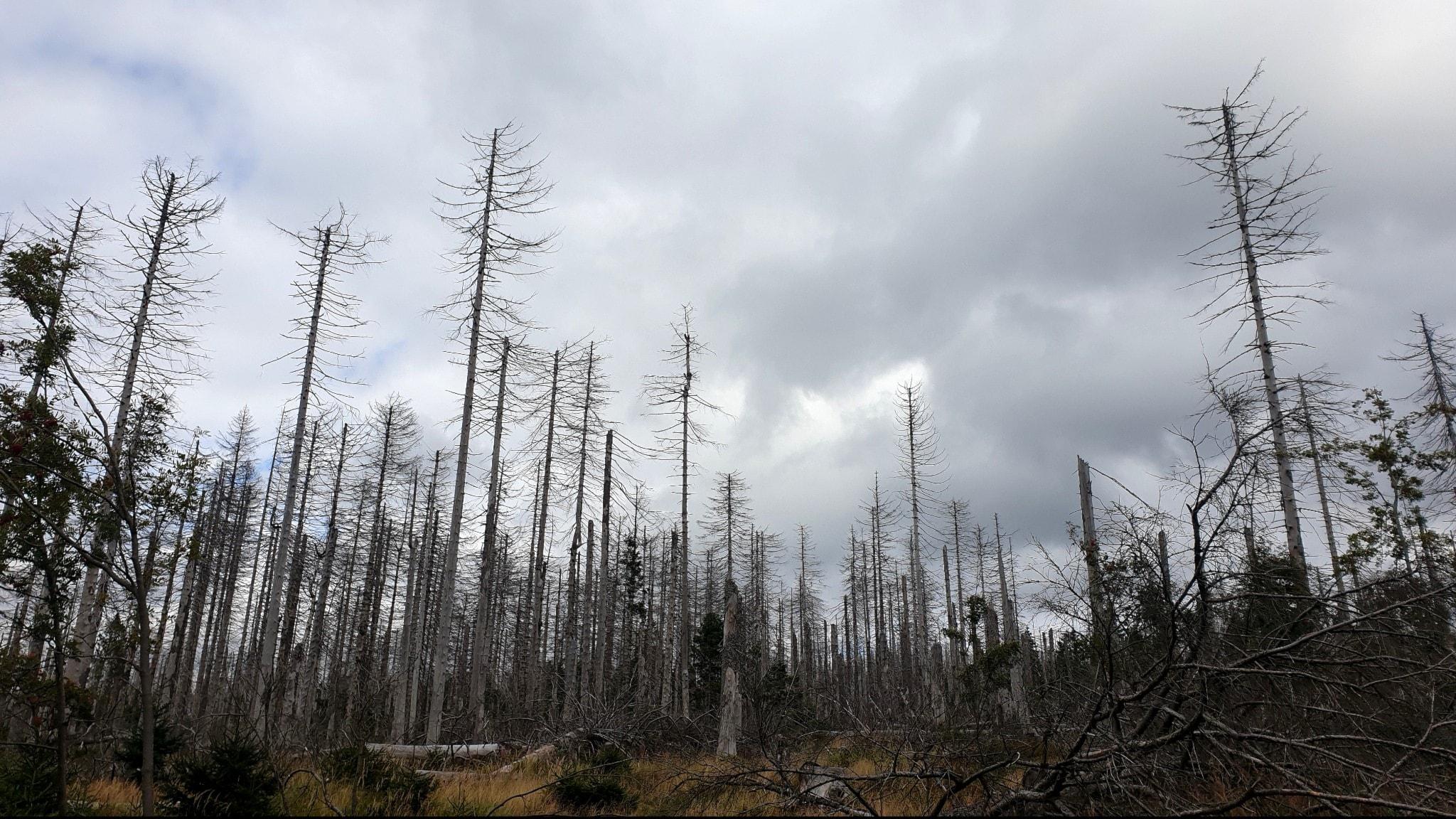 Växande insektshot mot granskogen