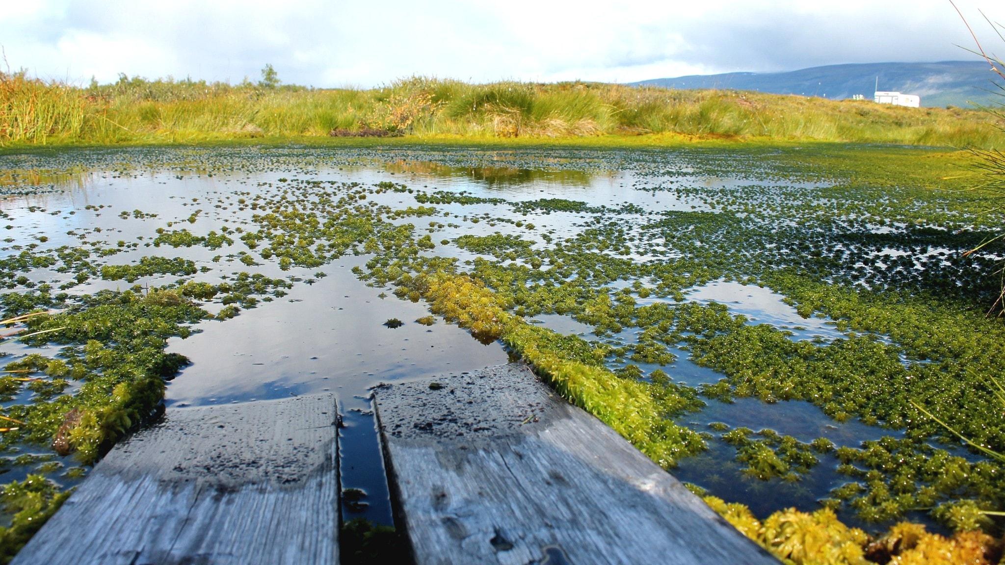 På Stordalenmyren i Abisko har en spång hamnat under vatten när permafrosten tinat.
