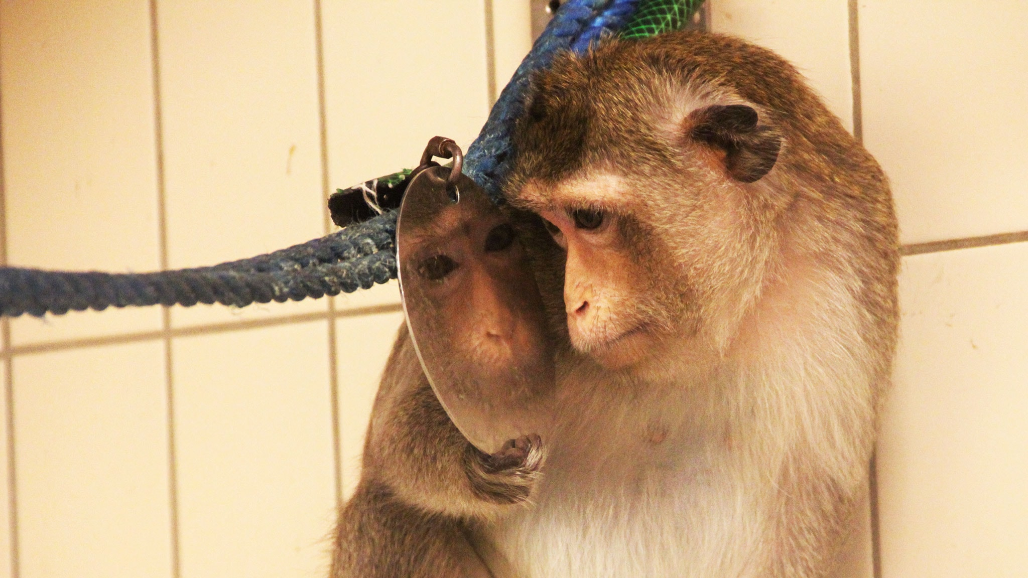 Aporna – våra kusiner i laboratoriet