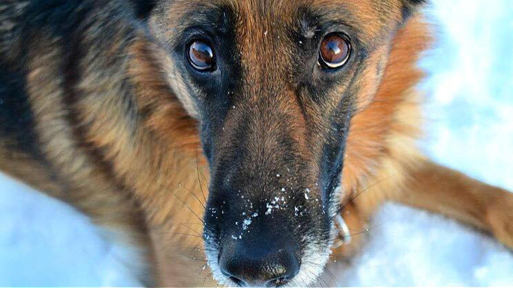 I väntan på en ledarhund