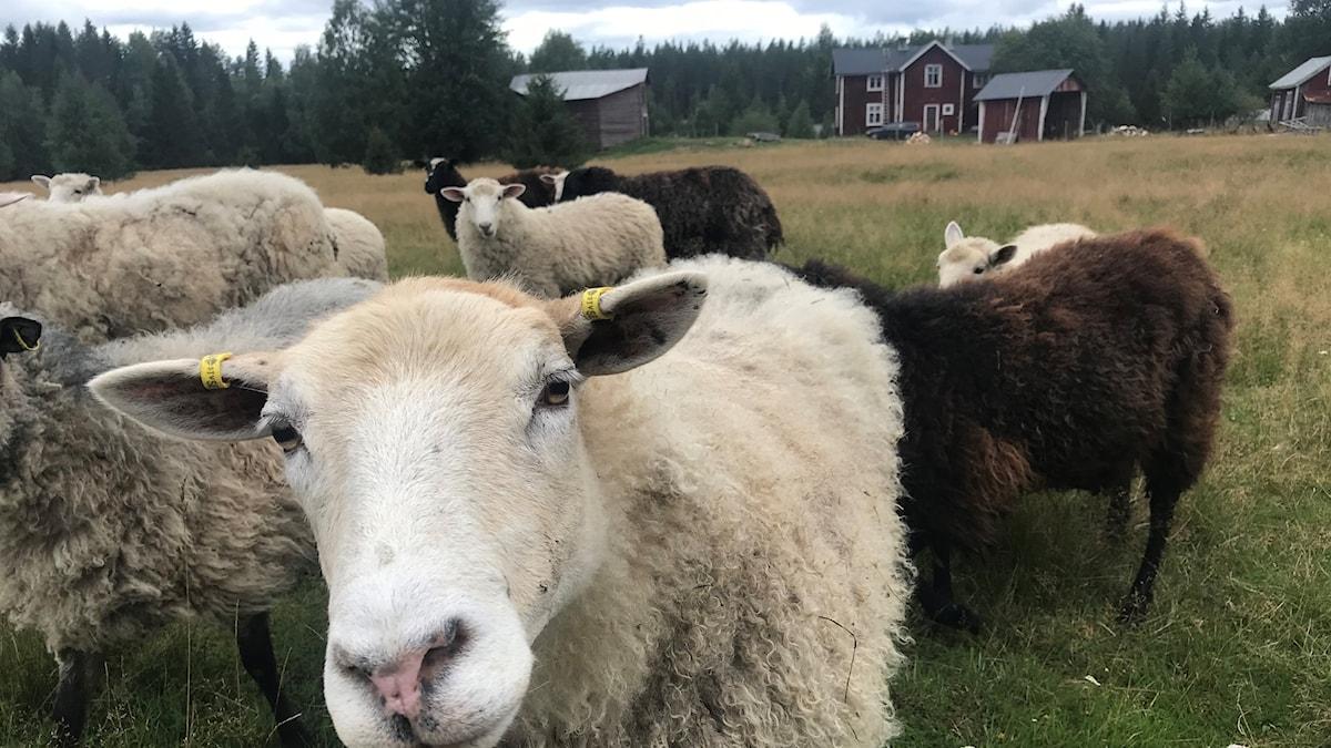 Stigs gård med öppna ängar för fåren