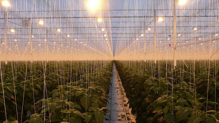 Lampor hänger över odlingar som sträcker sig så långt ögat når i ett stort växthus. Foto: Sveriges Radio.