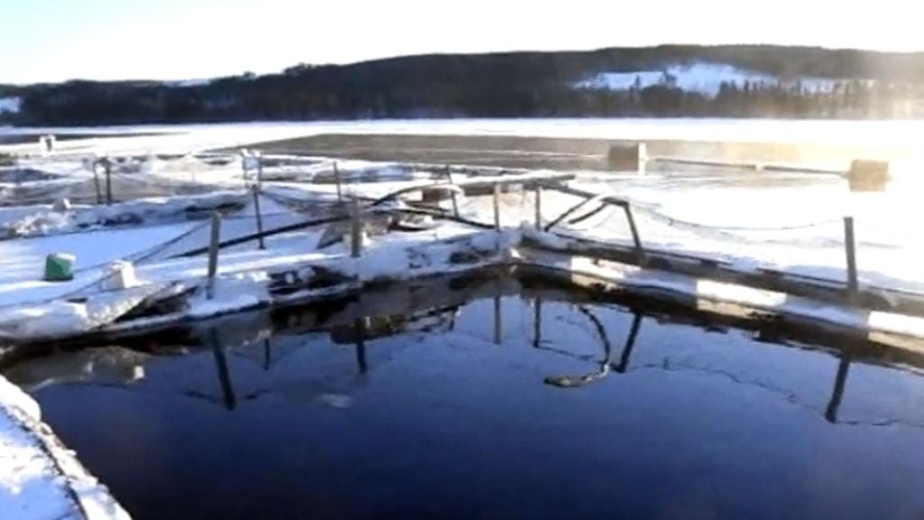 Fiskodling i snöigt landskap. Foto: Sveriges Radio.