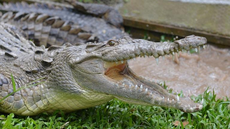 Krokodil. Foto: David McFadden/AP/TT Nyhetsbyrå.