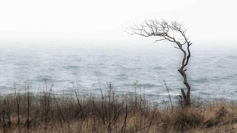 Vindpinat träd Foto: Susanne Nilsson/Pixlr