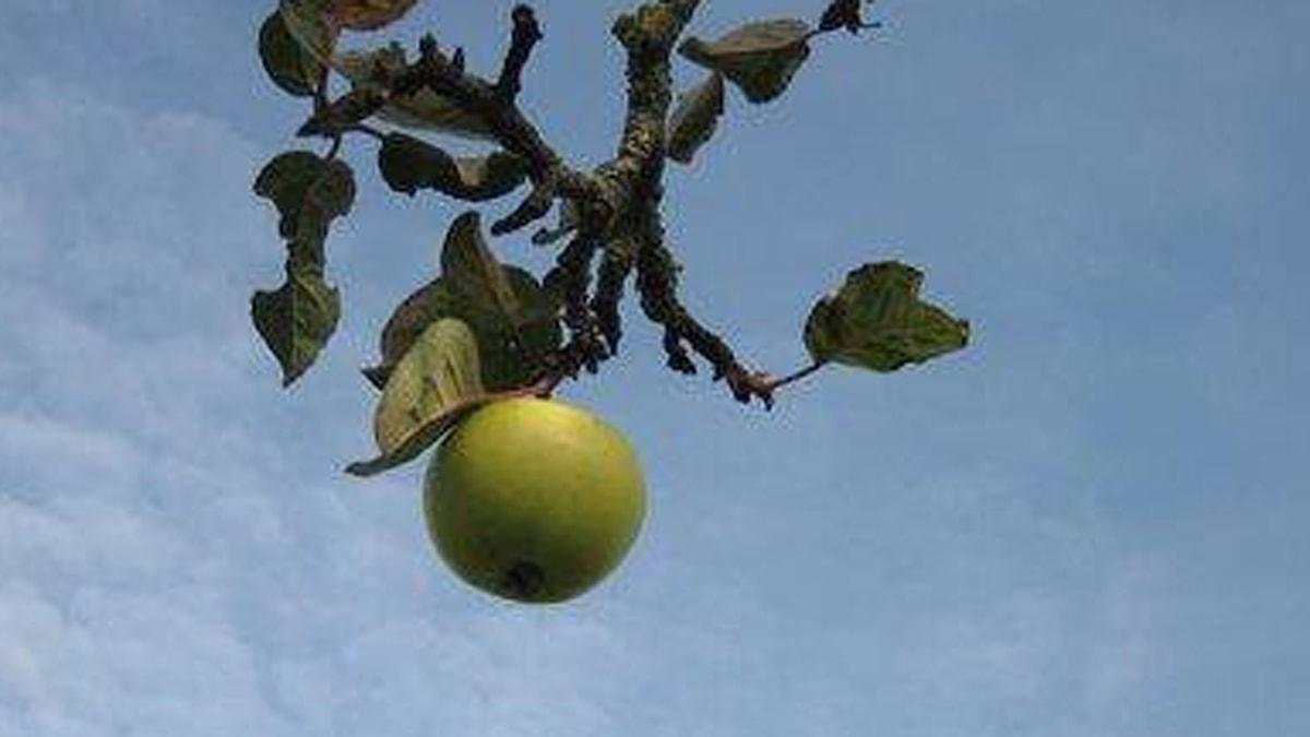 ett litet äpple. Foto: Myra Ekström