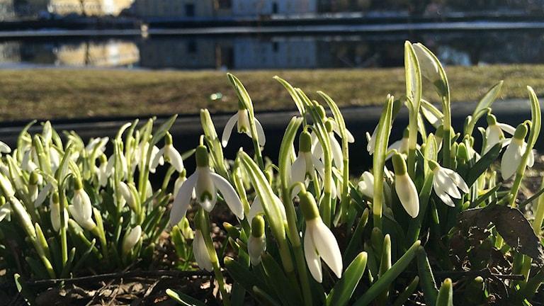 Våren är kommen i Värmland