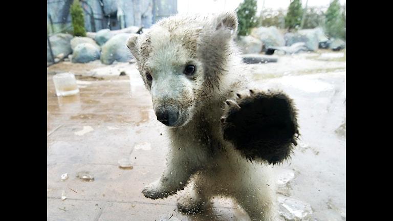 Vems fel är det att det är synd om isbjörnarna nu igen? Hmm.... FOTO: SCANPIX