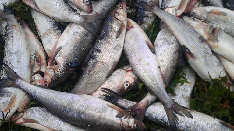 Fiskar