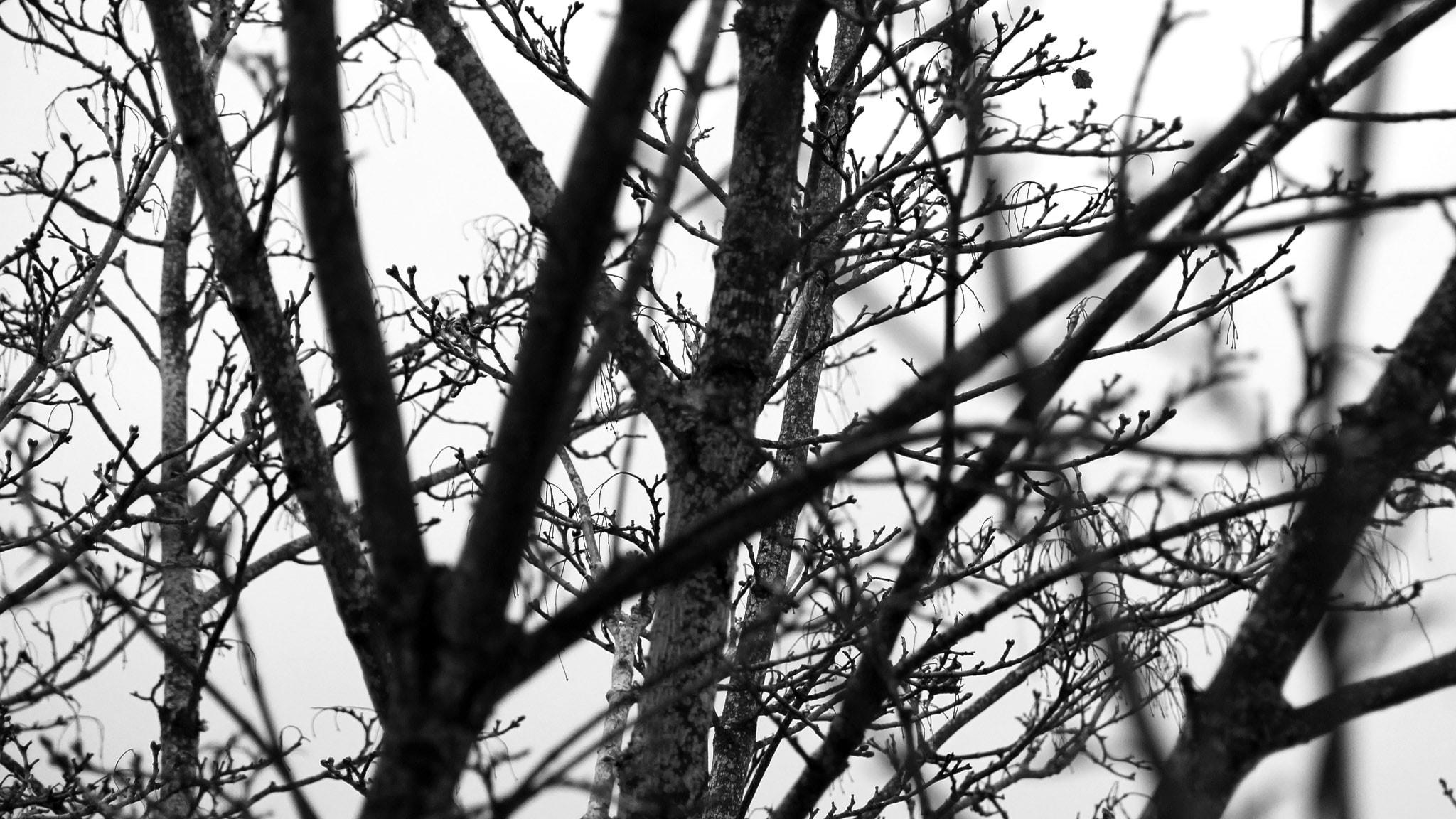 Kala träd. Foto: Lars-Gunnar Olsson/Sveriges Radio.