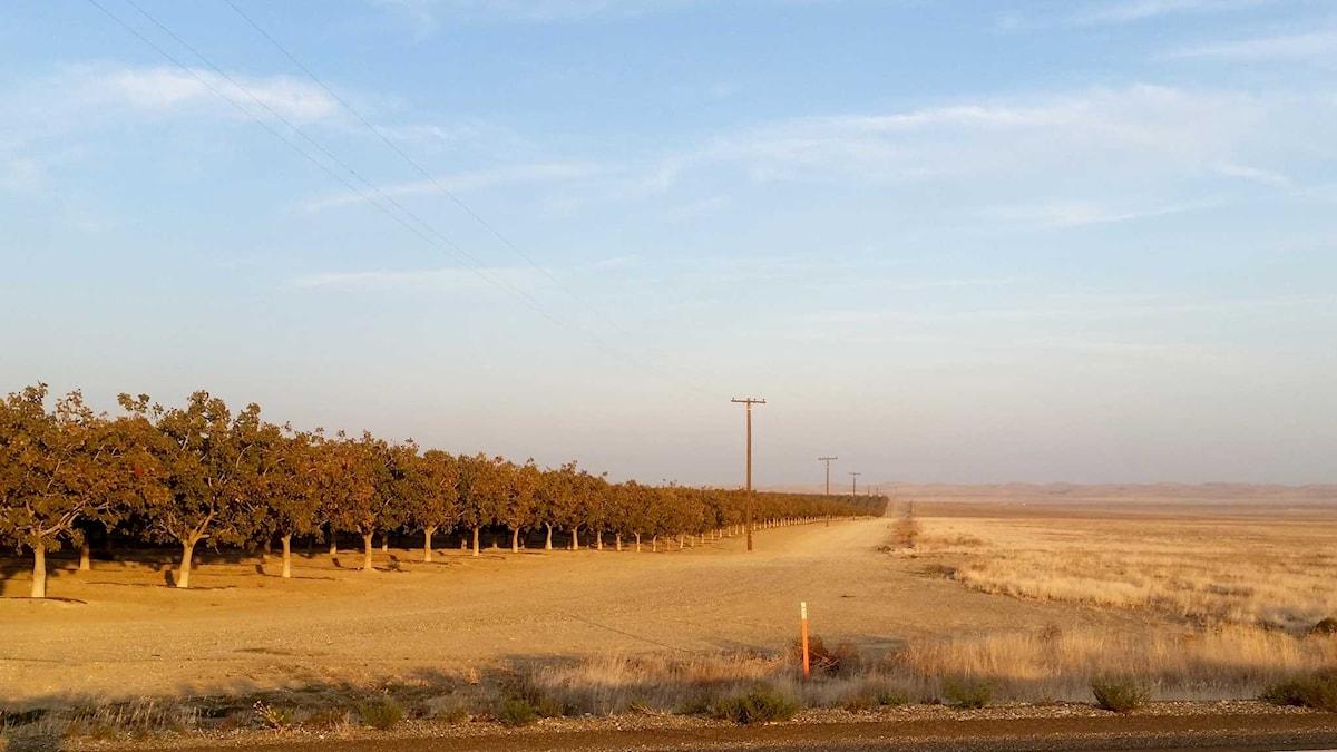 Långa rader av odlade träd intill torra landområden. Foto: Daniel Öhman/Sveriges Radio.