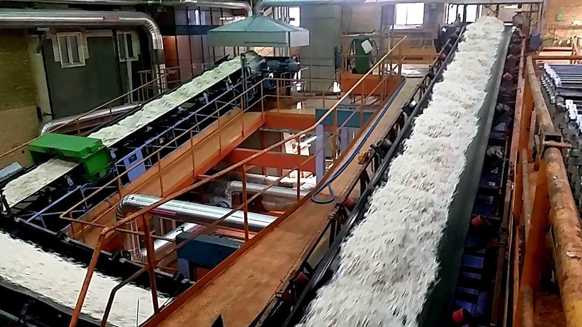 Socker på flera löpande band i fabrik. Foto: Daniel Öhman/Sveriges Radio.
