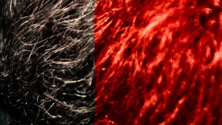 Könshåret som är hälften brunt och hälften rött. Foto: Chris Chabot/flickr/CC BY-NC 2.0 och Jack Mayer/flickr/CC BY-NC-SA 2.0