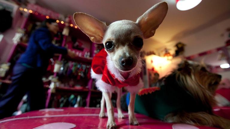 Chihuahua. Foto: Martin Mejia/TT