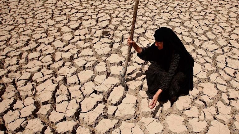 Irakiska Adilla kollar till sin mark som drabbats hårt av torka efter låga flodnivåer och ovanligt lite regn två år i rad. Foto: Hadi Mizban/AP/TT