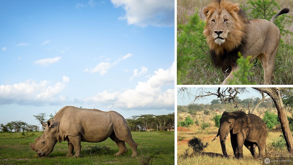 Bildkollage med noshörning, lejon och elefant ute i naturen.