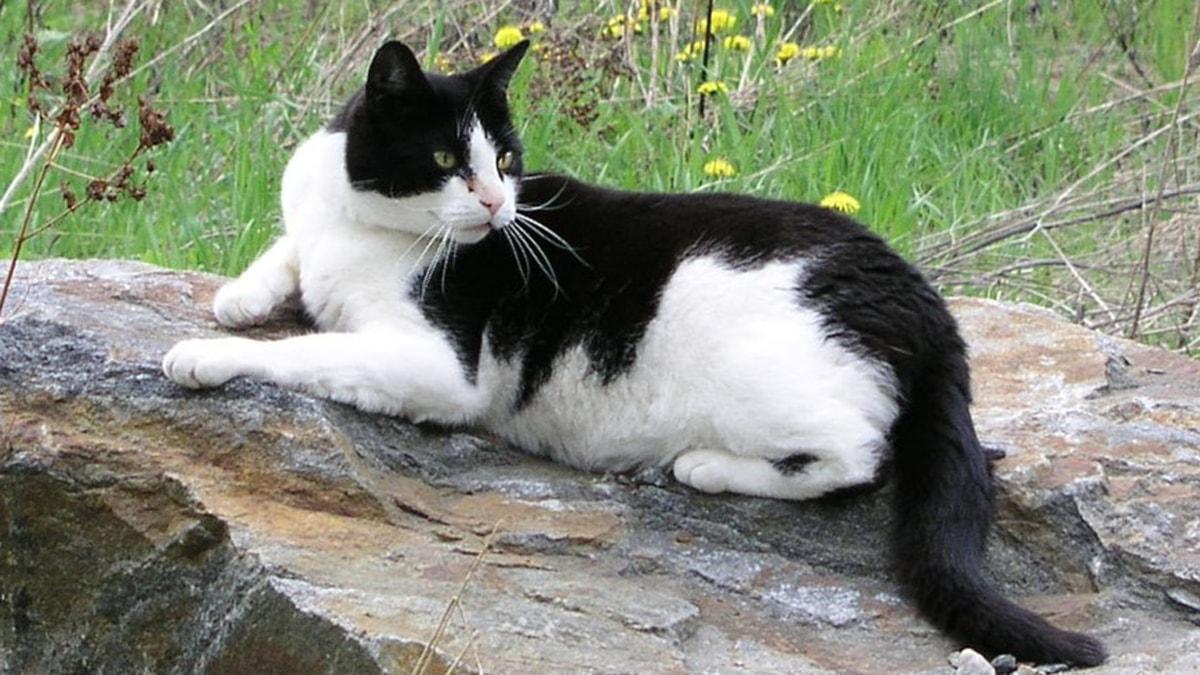 Kissa loikoilee kivellä