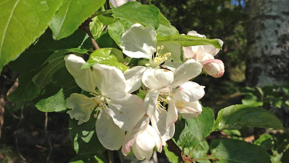 Omenapuu kukkii - se aika on jo pian!