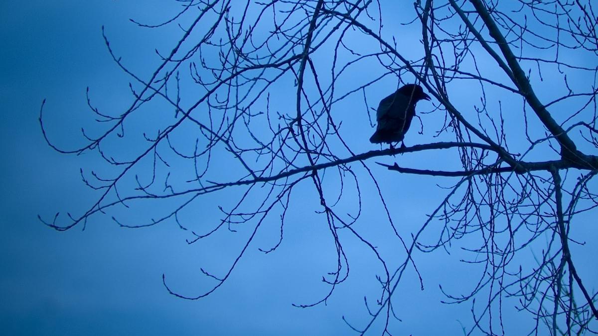 Korppi puussa iltahämärässä