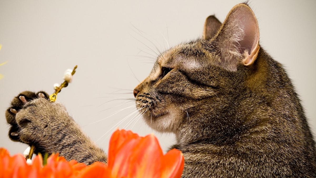 Kissalla on tassujen välissä pajunkissoja.