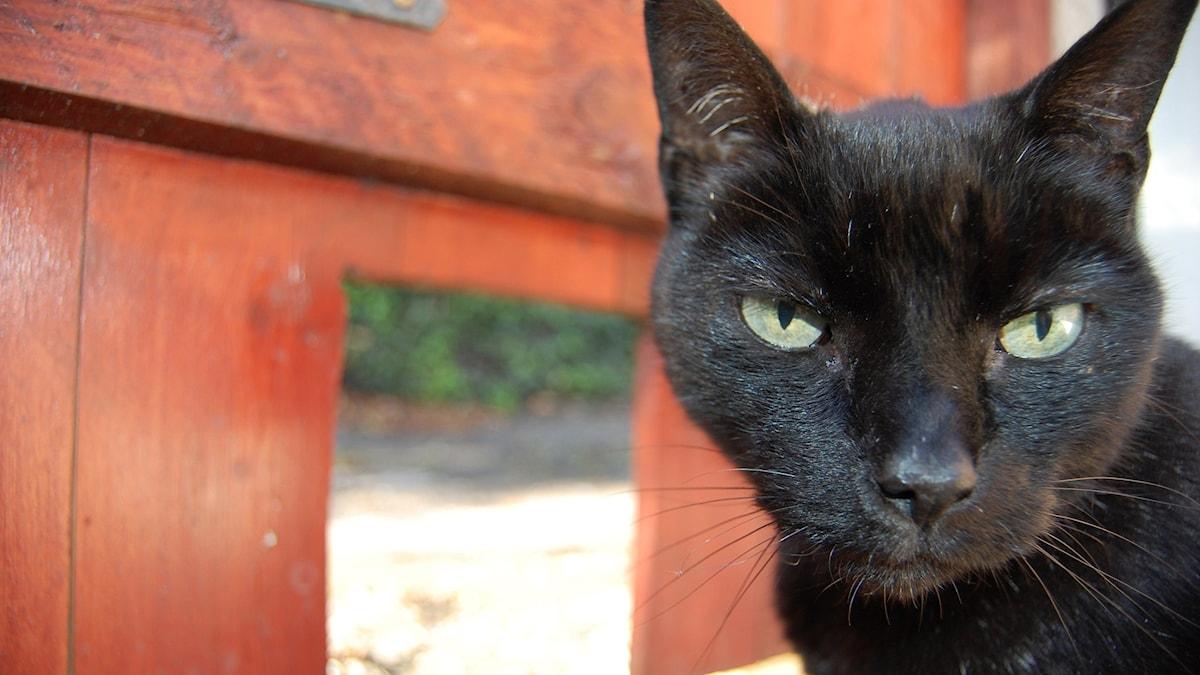Musta kissa seisoo punaisen oven edessä.