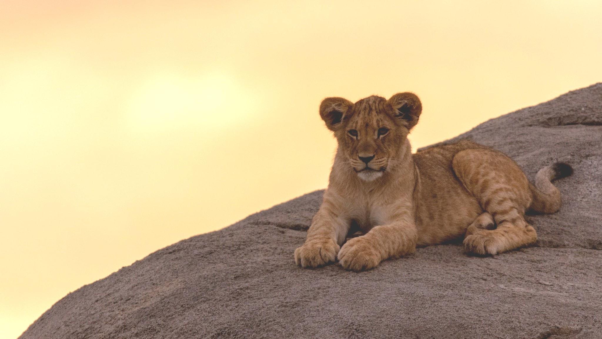 Leijonanpentu makaa kalliolla