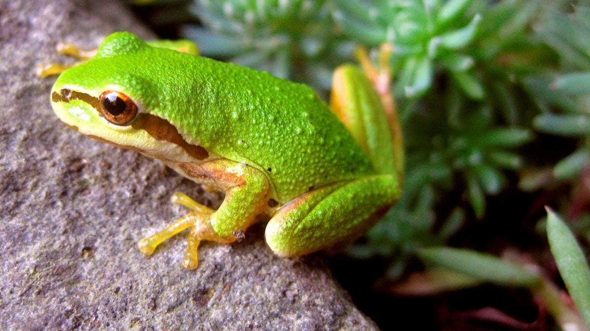 Vihreä sammakko kivellä